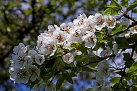 White apple blossoms Malus, Baden_Wuerttemberg, Germany, Europe