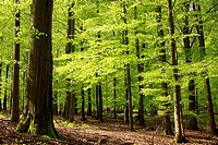 Beech forest in May, spring