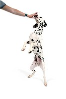 Dalmatian Canis lupus f. familiaris, Dalmatian standing on his hindpaws, licking a hand