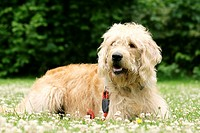 Labradoodle Canis lupus f. familiaris, lying in a meadow, crossbreed or hybrid dog created by crossing the Labrador Retriever and the Standard or Mini...