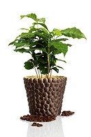 Arabian coffee Coffea arabica, plant in flower pot with coffee beans, Germany, Studio