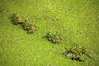 European edible frog, common edible frog Rana kl. esculenta, Rana esculenta, on a pond with common duckweed