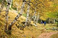 birch Betula spec., Two trekkers in autumnal forest, Monestero valley, Spain, Katalonia, Pyrenees, Aiguestortes National Park