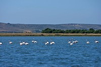 Flamingoes in the Lagune di Mistras, Sinis peninsula, Sardinia, Italy, Europe