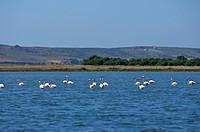 Flamingoes in the Lagune di Mistras, Sinis peninsula, Sardinia, Italy, Europe