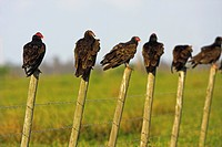 turkey vulture Cathartes aura, group with one American Black Vulture Coragyps atratus, sitting on the posts of a fence, USA, Florida