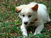 Kintamani Canis lupus f. familiaris, puppy of a balinese race of dogs, playing with a stick, Indonesia, Bali