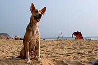 India, Kerala, dog on beach