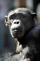 Chimpanzee (Pan) at ZOOM Erlebniswelt Zoo in Gelsenkirchen, North Rhine-Westphalia, Germany, Europe