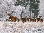 red deer Cervus elaphus, red deers in winter, Germany, Saxony