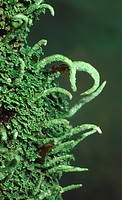 Close_up of a very common cladonia lichen Cladonia coniocraea growing at the base of a tree in a Norfolk wood The slender, pointed stalks which are ho...