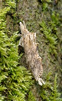 Close_up of a pale prominent moth Pterostoma palpina in a typical resting position on a moss_covered tree in a Norfolk wood