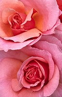 Abstract close up image of roses Rosa variety