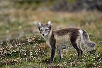 arctic fox, polar fox Alopex lagopus, Vulpes lagopus, in arctic summer, Norway
