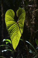Backlit rainforest leaf