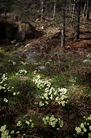 Wild primroses at the Burn O' Vat, Muir of Dinnet