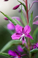 Flower of rosebay willowherb Epiobium angustifolium also known as fireweed