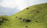 New Zealand, Cattle on pasture land