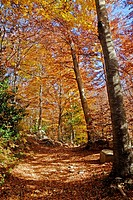 Forest in fall, Montseny  Catalonia, Spain