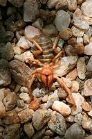 camel spider, wind scorpion, sun scorpion, sun spider Solifuga spec., on the ground, Namibia, Windhoek