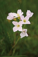 Lady´s smock Cardamine pratensis in field, Aberdeenshire, Scotland