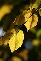 Close_up of beech leaves in autumn, Aberdeenshire, Scotland