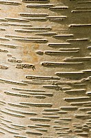Close_up of patterns in bark from the Japenese white birch Betula platyphylla szechuanica