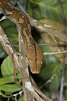Reticulated python Python reticulatus in vegetation