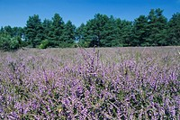 heather, ling Calluna vulgaris, flowering at nature park Misselhorner Heide, Germany, Lower Saxony