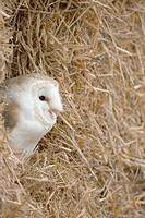 Barn owl Tyto alba roosting amongst straw bales on a Gloucestershire farm, England