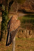 Kestrel Falco tinnunculus sat on a fence post looking out over a small field in Limousin, France