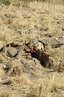 A group of cheetahs Acinonyx jubatus feeding at the Amani Lodge, Namibia Amani have a dedictated programme of big cat rehabilitation and are actively ...