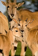 Group of eland Taurotragus oryx mother and calves