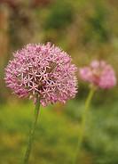 Ornamental onion in the garden of Drum Castle, Aberdeenshire, Scotland