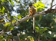 Squirrel monkey Saimiri oerstedii in a tree