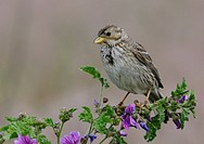 Male corn bunting Miliaria calandra perching on common mallow
