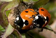 Close_up of a pair or 7_spot ladybirds Coccinella 7_punctata mating in a Norfolk garden in summer