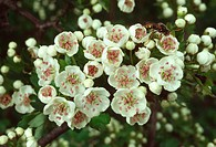 Close_up of a group of hawthorn or may tree flowers Crataegus monogyna growing in a hedgerow