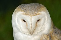 Adult pale phase barn owl Tyto alba at Devon County Show