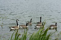 Canadian geese branta canadenis swimming on lake at Whitlingham Country Park