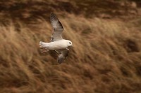 A fulmar Fulmarus glacialis in flight against the dunes