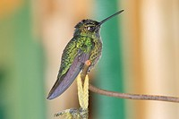 Male magnificent hummingbird Eugenes fulgens perched on a branch
