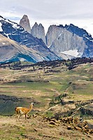 Guanaco looking at landscape at Torres del Paine National Park, Chile