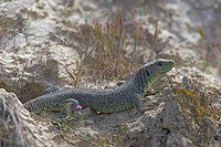 Ocellated Lizard (Timon lepidus), Extremadura, Spain, Europe