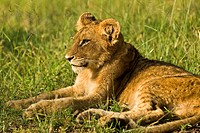 Lion cub Panthera leo relaxing in grass, Mala Mala, South Africa