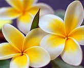 White and yellow Plumeria or Frangipani flowers with leaves. Hawaii, Maui, USA