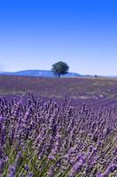 Lavender Field, France, Plateau De Valensole, Provence_Alpes_Cote d´Azur