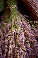 Bunches of lavender flowers