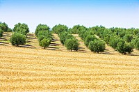 Olive Tree Field in France