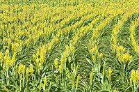 Sorghum Field in France